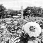 牡丹まつりが開催 新座総合運動公園